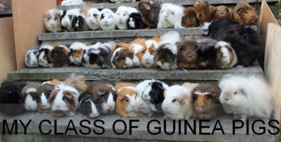 My class of guinea Pigs